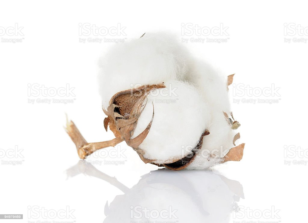 Close up of a cotton bloom dried royalty-free stock photo