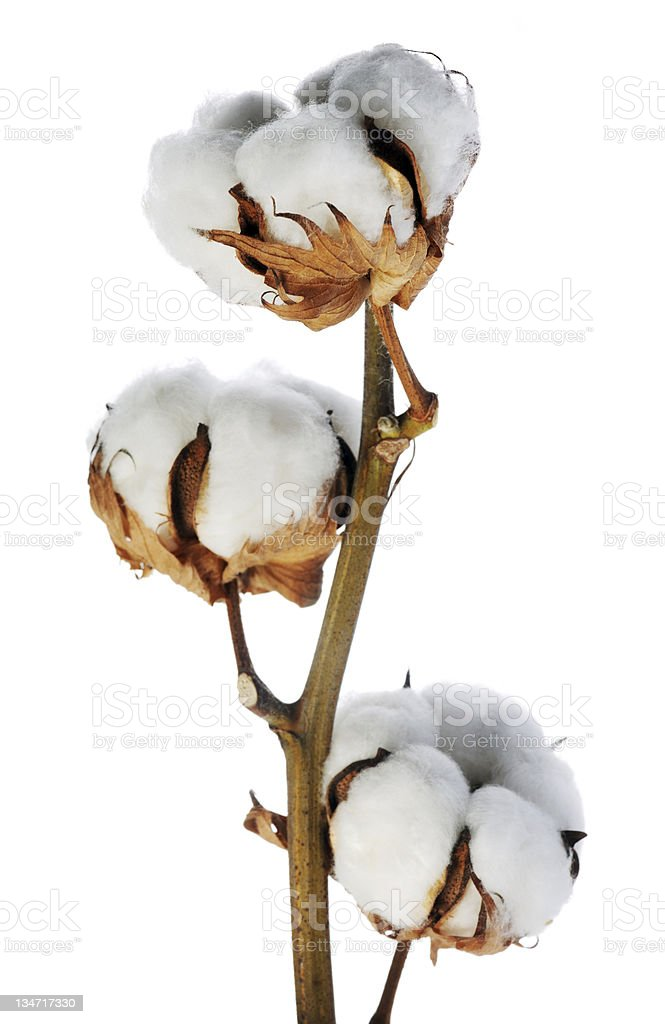 Close up of a cotton plant isolated on a white background  stock photo
