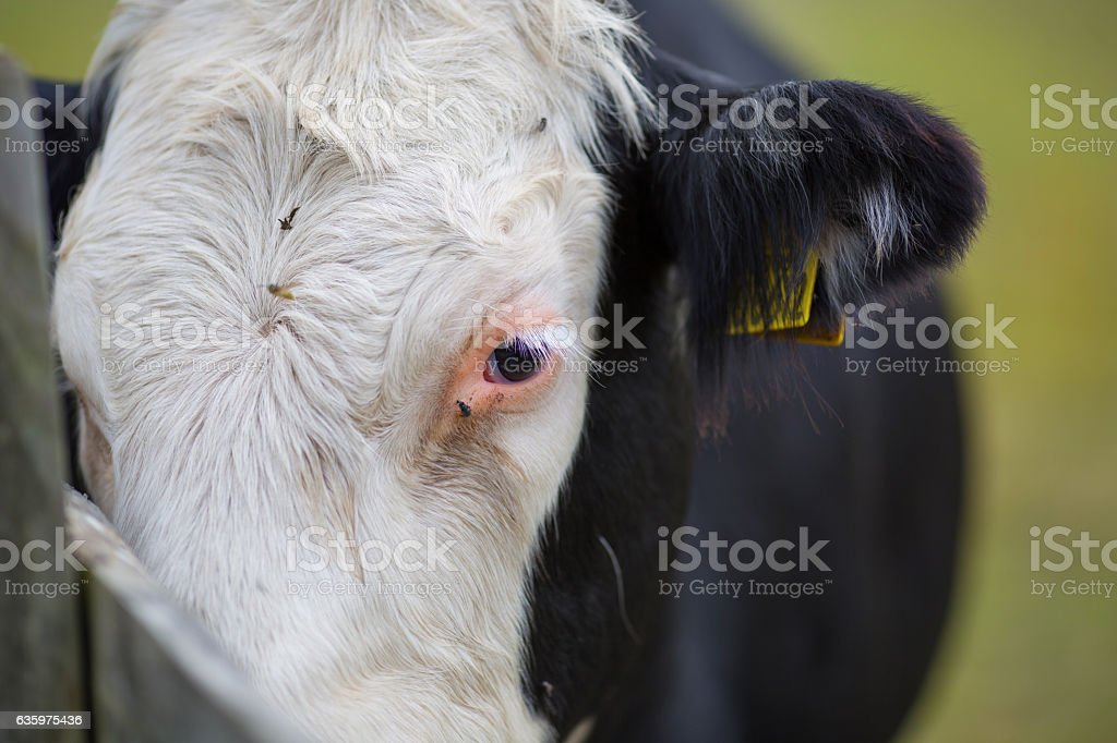 Close up of a cow being annoyed by flies stock photo