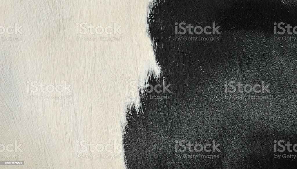 close up of a cow stock photo