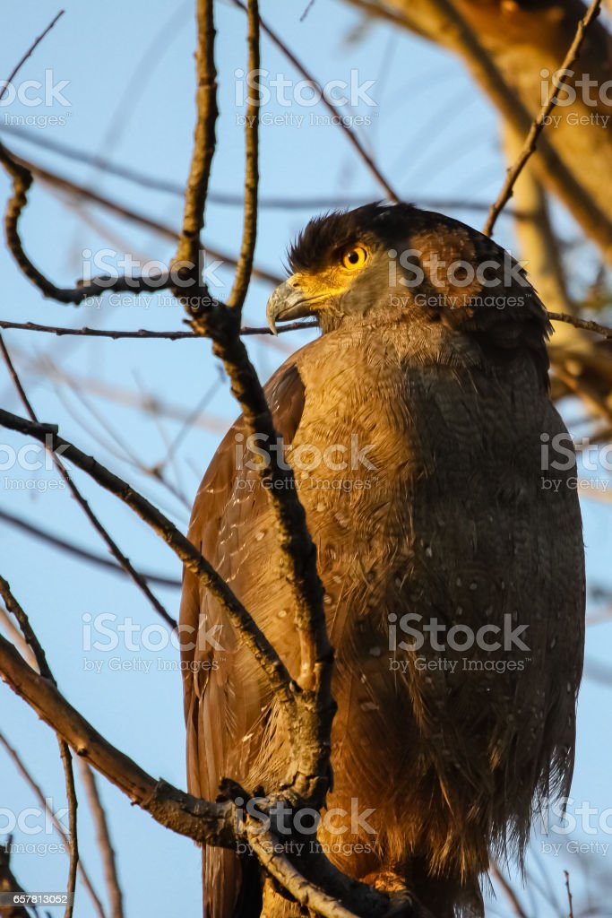 Close up of a Crested Serpent eagle stock photo