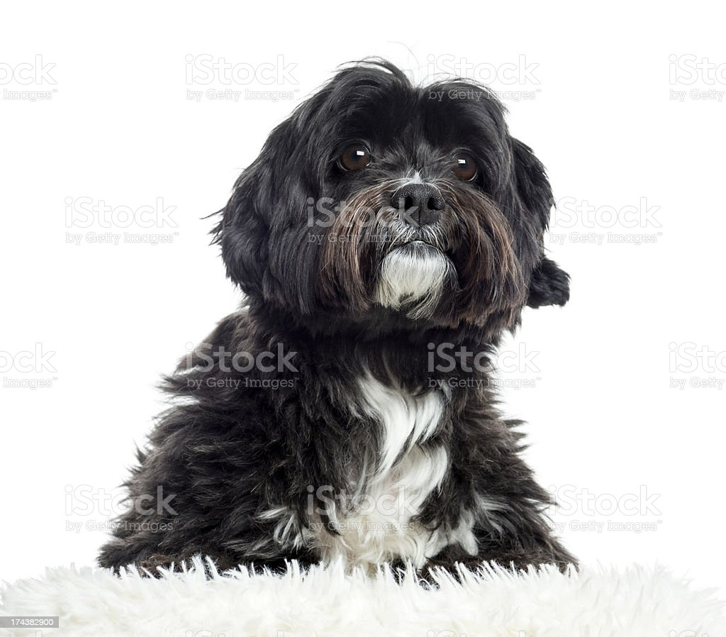 Close up of a crossbreed, isolated on white royalty-free stock photo