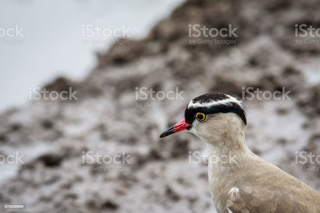 Close up of a Crowned lapwing. stock photo
