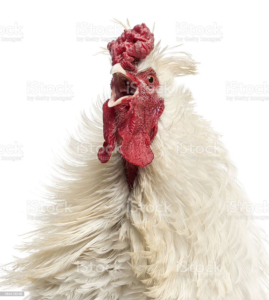 Close up of a curly feathered rooster crowing, isolated stock photo