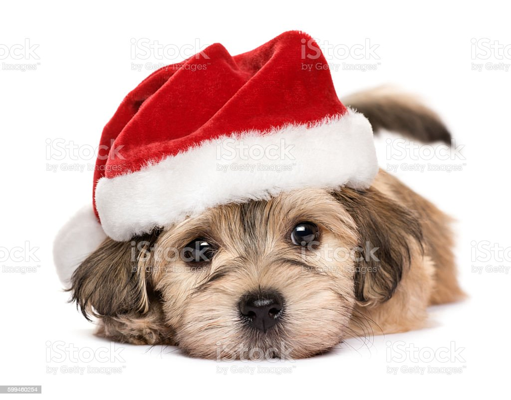 Close up of a cute lying Christmas Havanese puppy dog stock photo