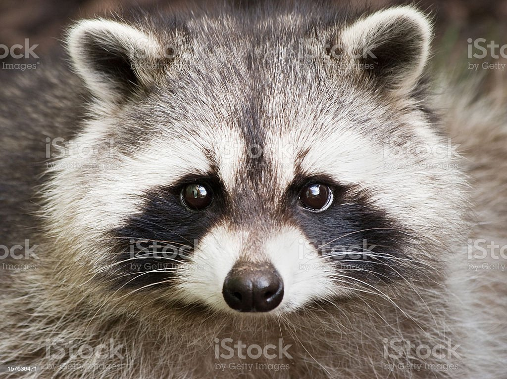 Close up of a cute raccoon face stock photo