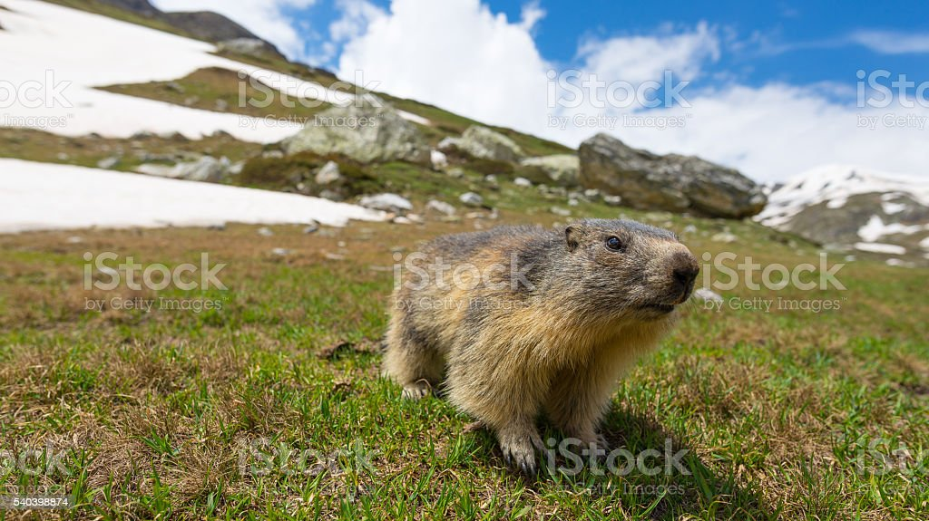 Close up of a cute young funny marmot, front view stock photo