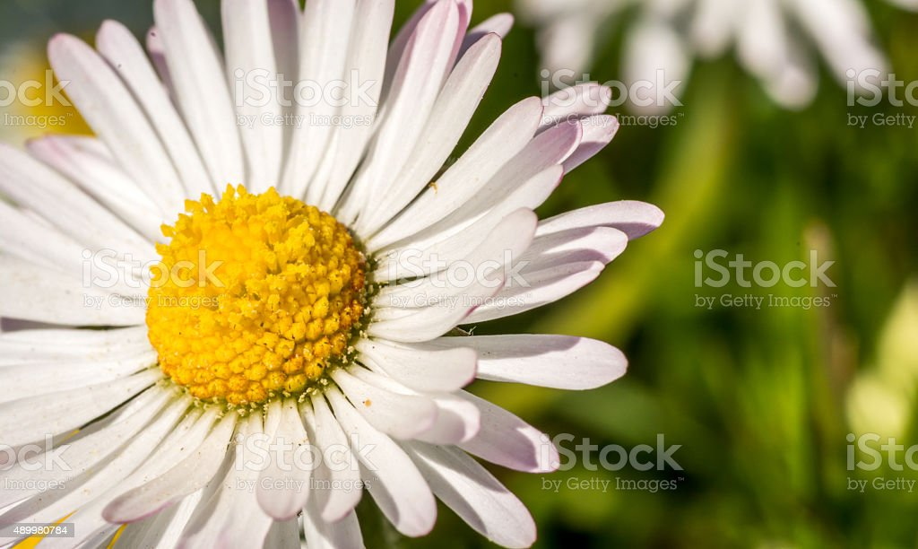 Close Up of a Daisy Flower stock photo