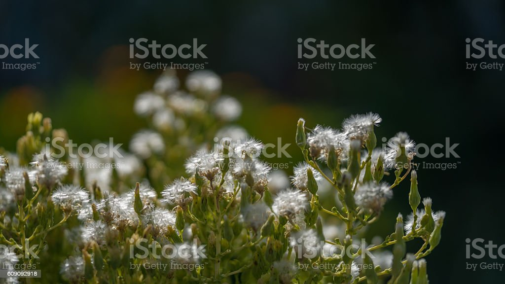 Close up of a dandelion flowers seed,Macro of nature stock photo