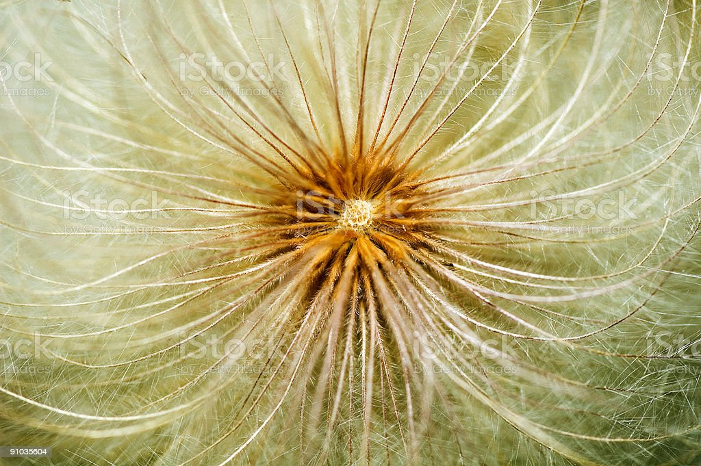 Close up of a dandelion. royalty-free stock photo