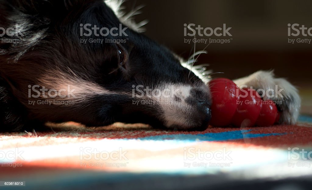 close up of a dog who plays with his toy stock photo