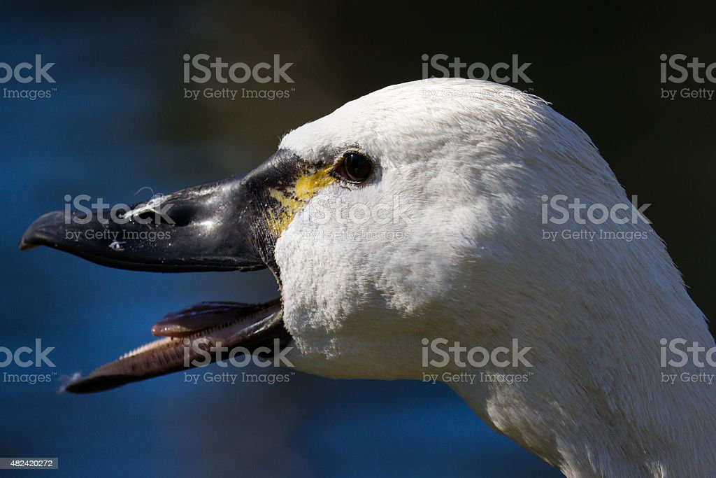 Close Up of a Duck royalty-free stock photo