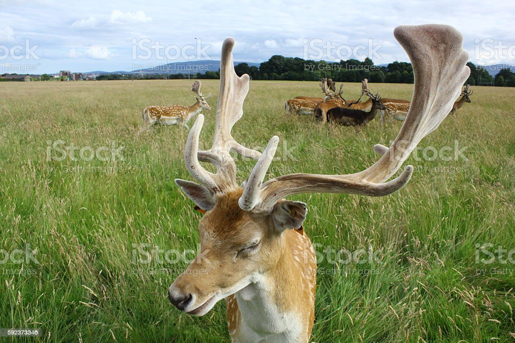 Close up of a fallow deer buck in a green field. stock photo