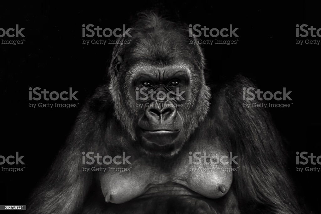 Close up of a female gorilla stock photo