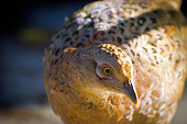 Close up of a female pheasant