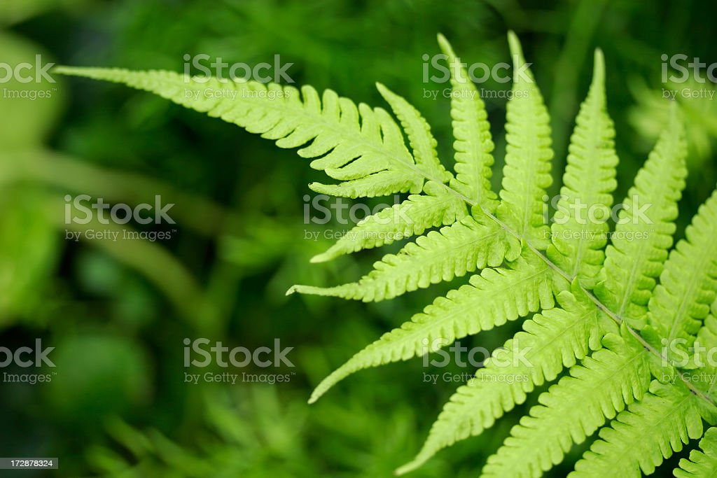 Close up of a fern leaf with other ferns in background royalty-free stock photo