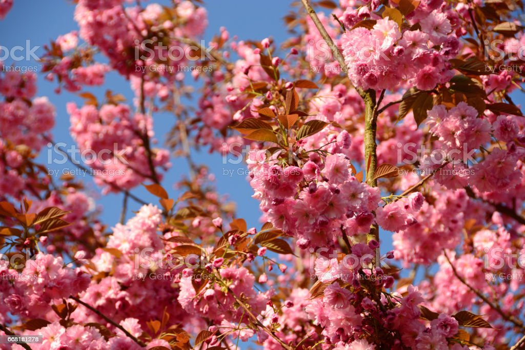 Close up of a flowering oriental cherry tree. stock photo