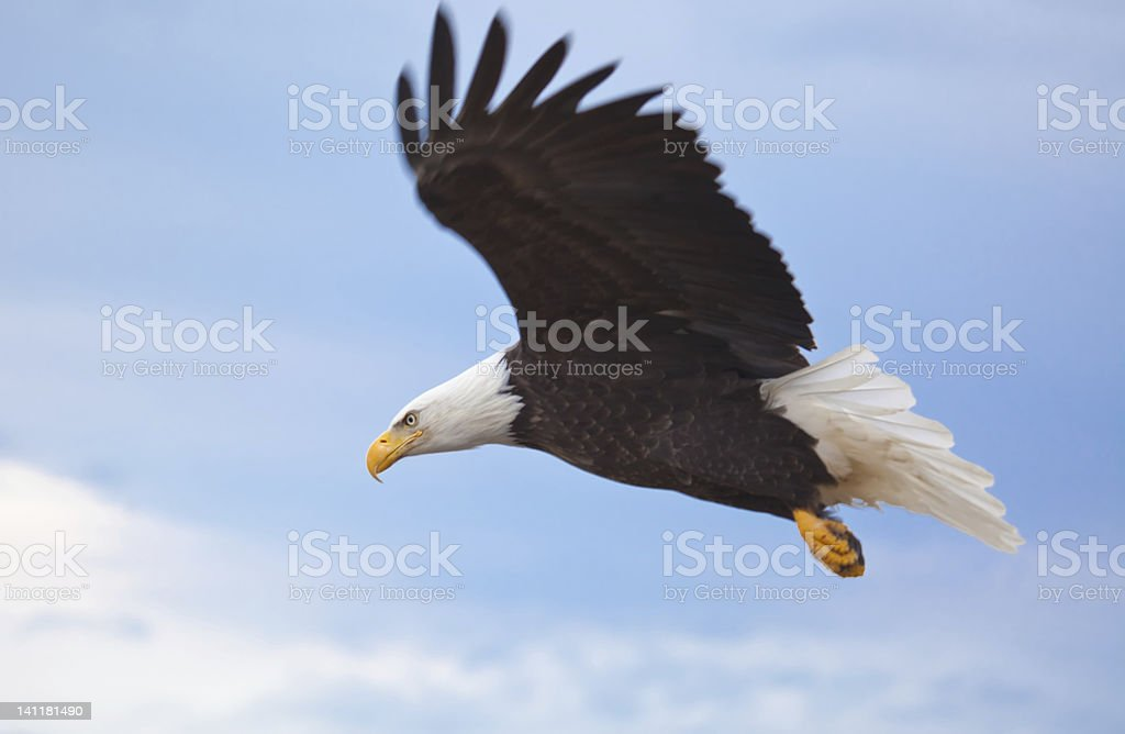 A close up of a flying Bald Eagle stock photo