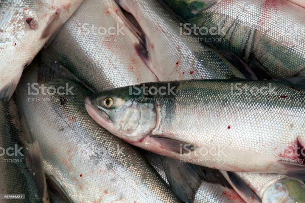 Close up of a fresh sockeye salmon stock photo