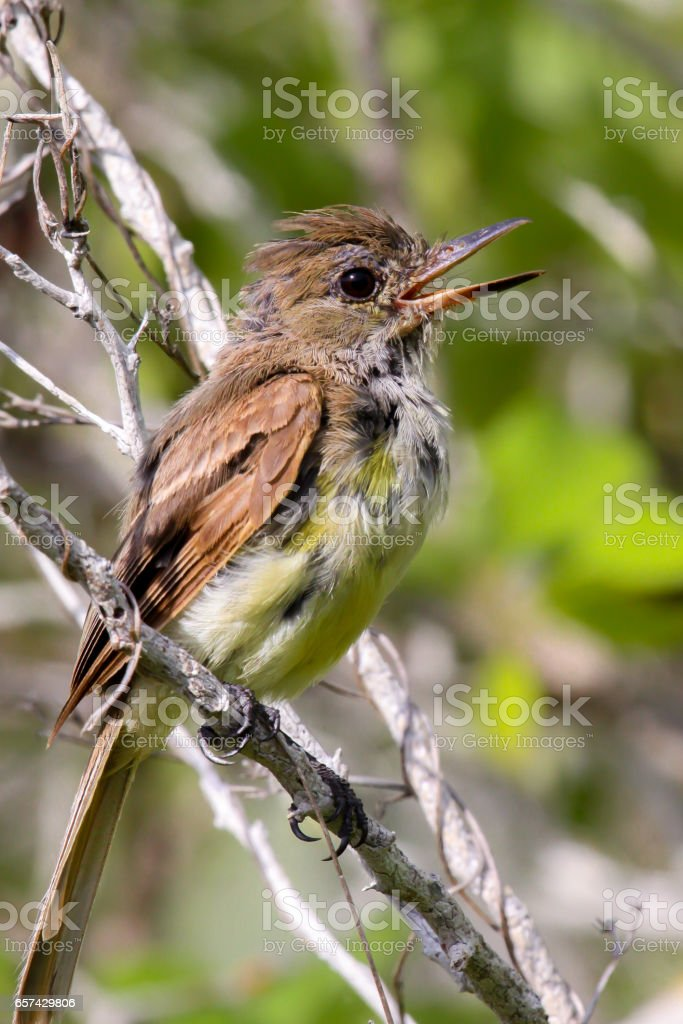 Close up of a Galapagos flycatcher stock photo