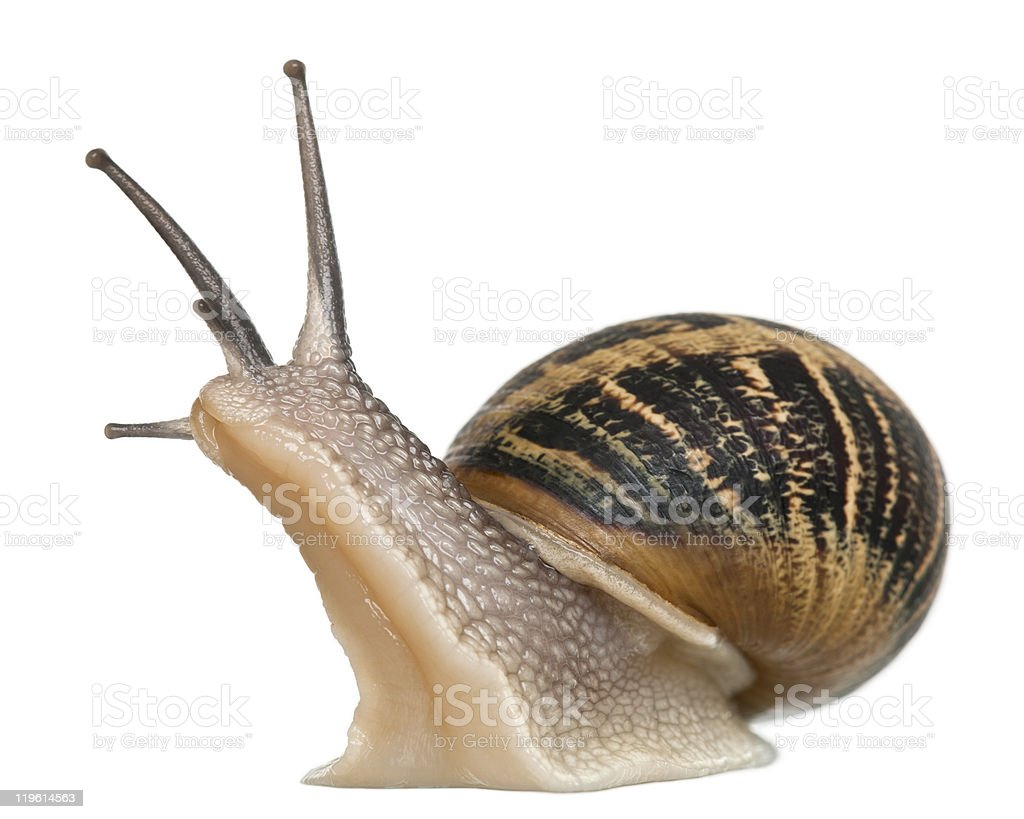 Close up of a garden snail on a white background stock photo
