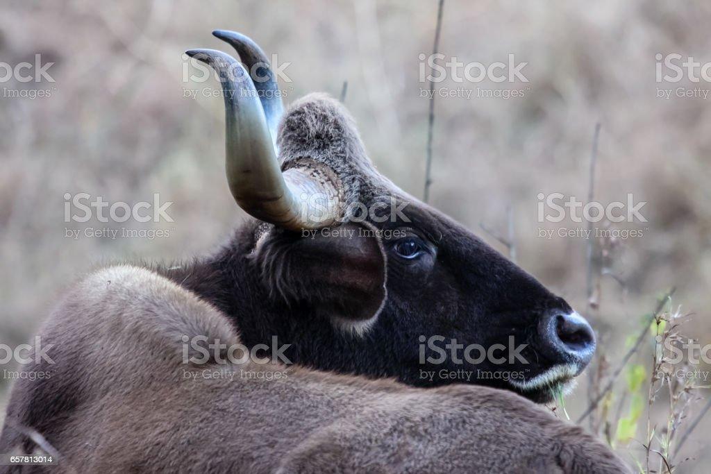 Close up of a Gaur stock photo