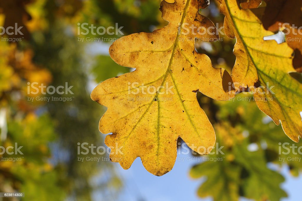 Golden oak leaf in autumn hanging from tree stock photo