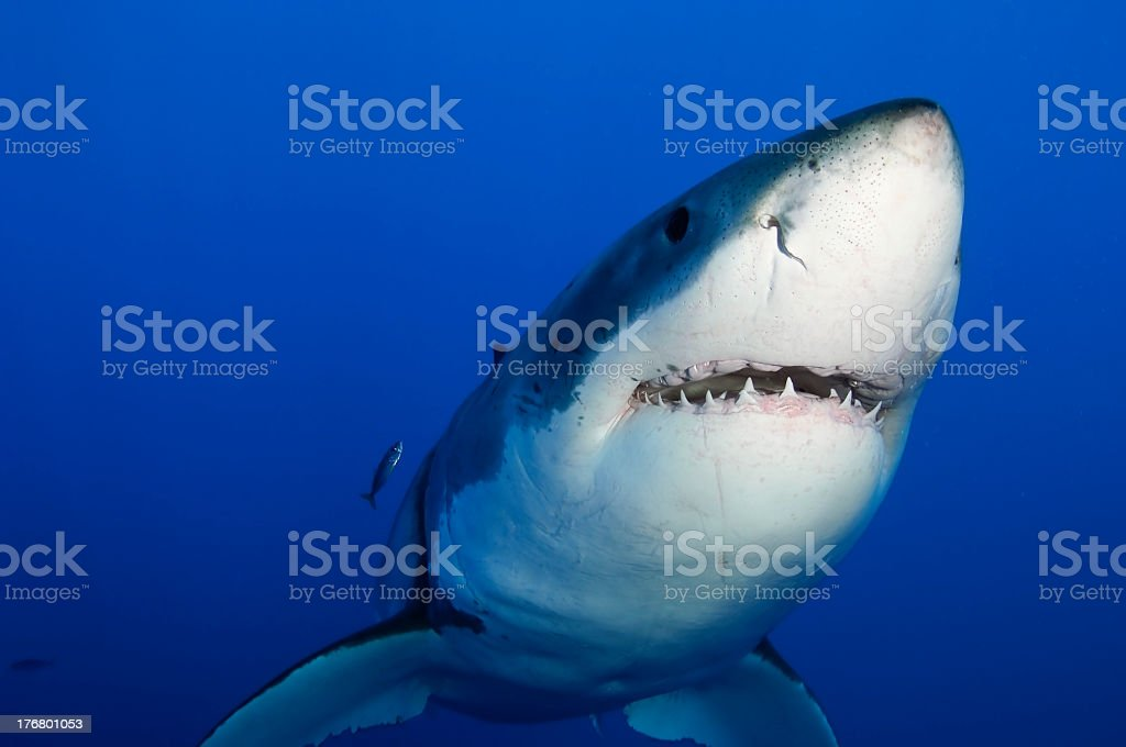 Close up of a great white shark from the bottom front stock photo