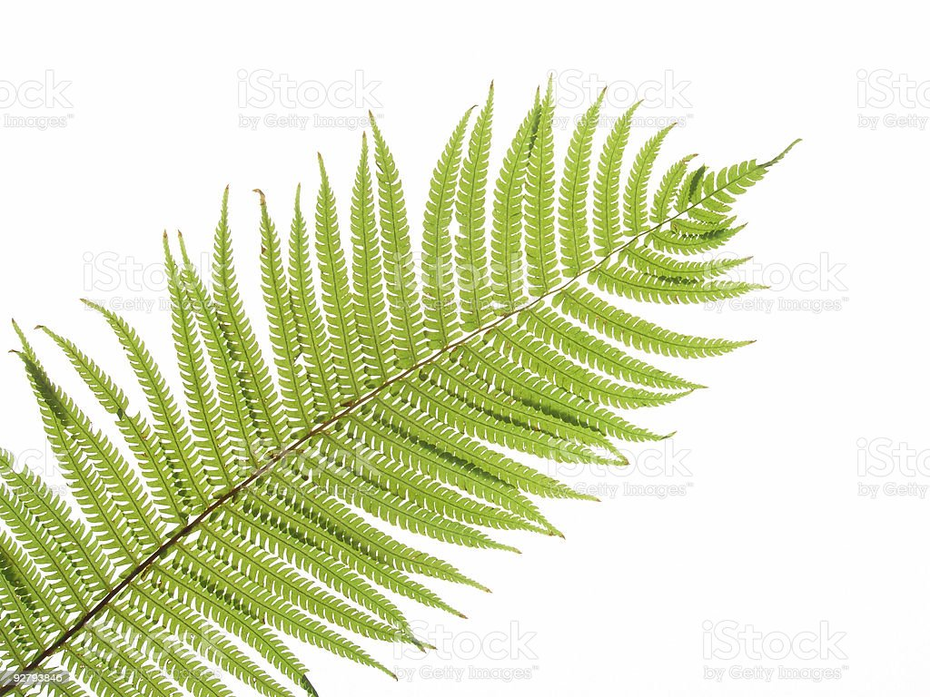 Close up of a green fern leaf against white background stock photo