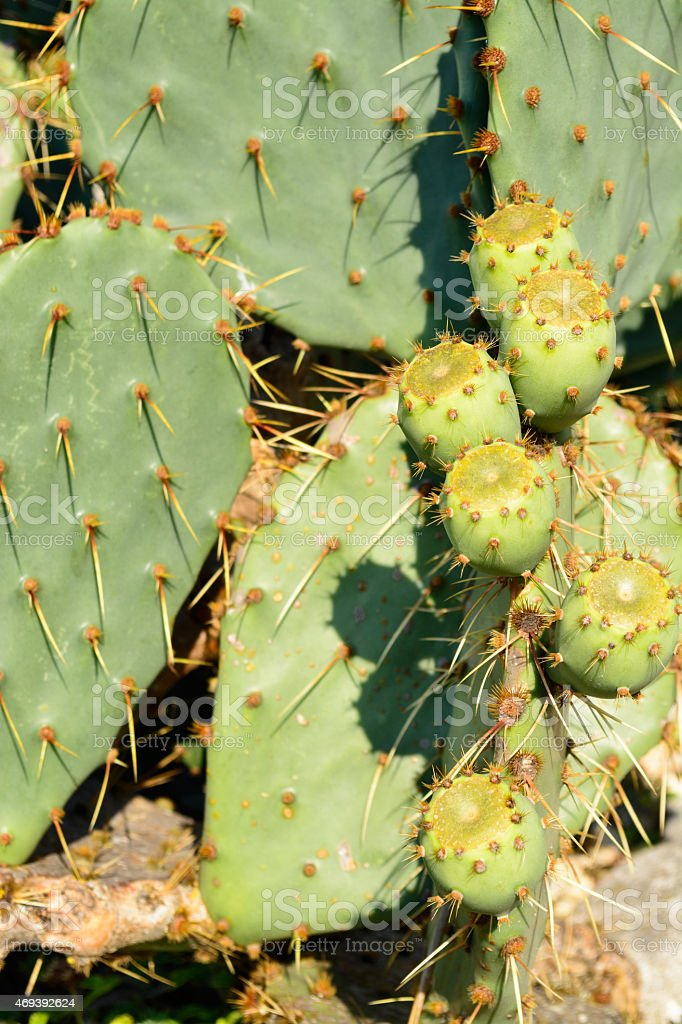 Close up of a green Opuntia Cactus stock photo