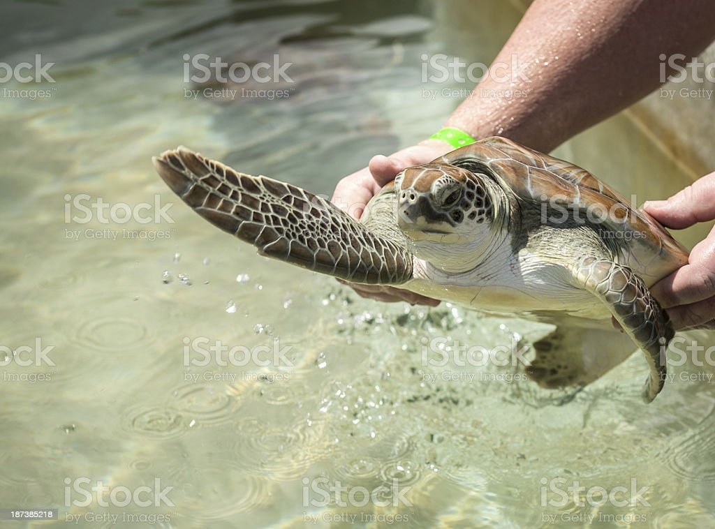 Close up of a Green Sea Turtle royalty-free stock photo