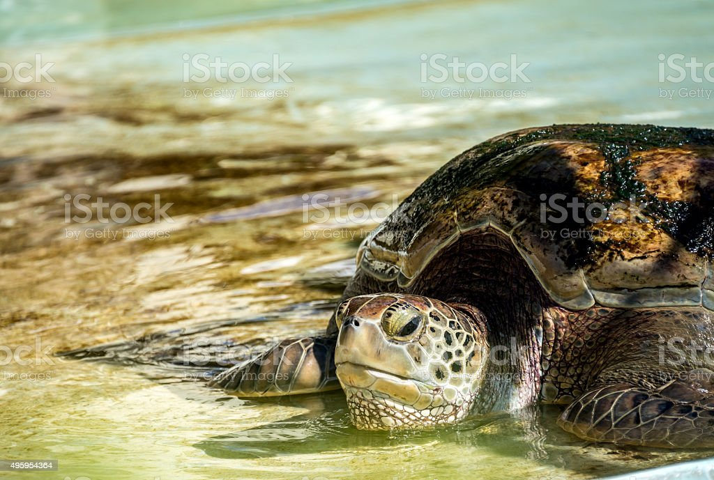 Close up of a Green Sea Turtle stock photo
