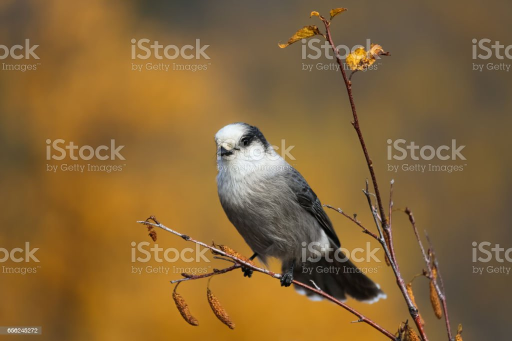 Close up of a Grey jay sitting on a branch and fall foliage stock photo