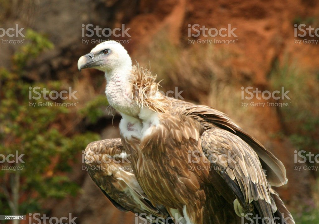 Close up of a griffon vulture ready to fly stock photo