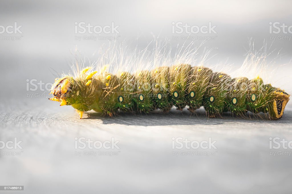 Close up of a hairy caterpillar 'Imperial Boy' stock photo