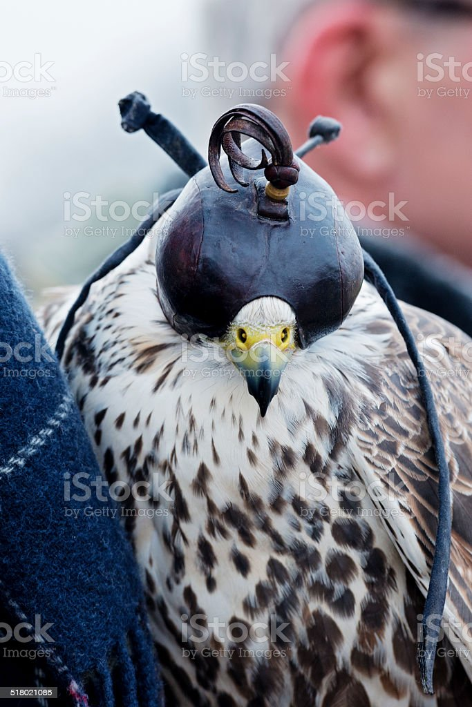 Close up of a Hooded Lanner Falcon. stock photo
