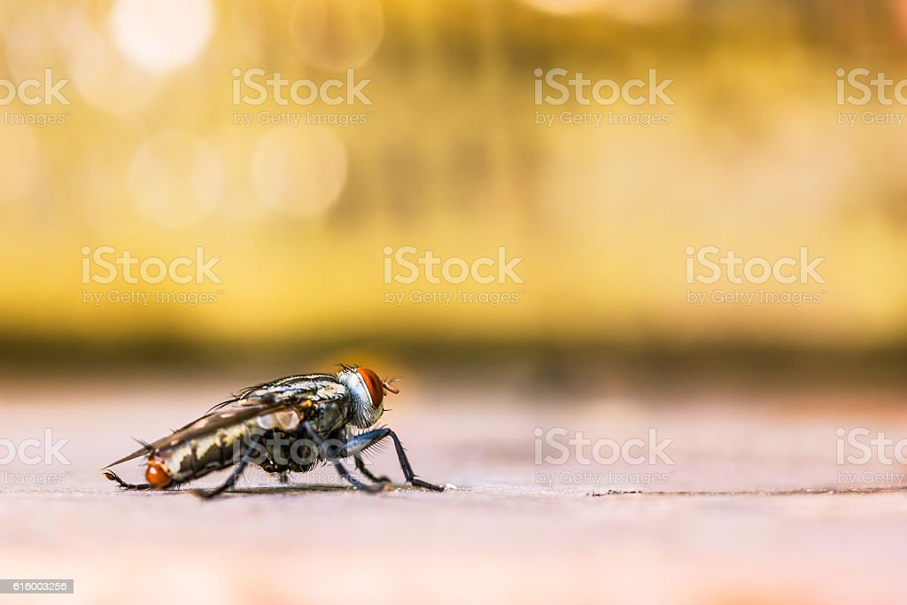 Close up of a horse fly stock photo