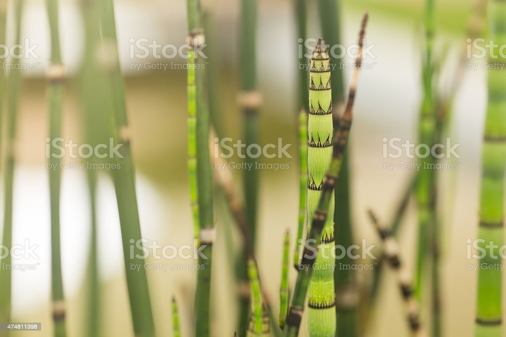 Close Up Of A Horsetail Plants, Relative Of Bamboo. stock photo