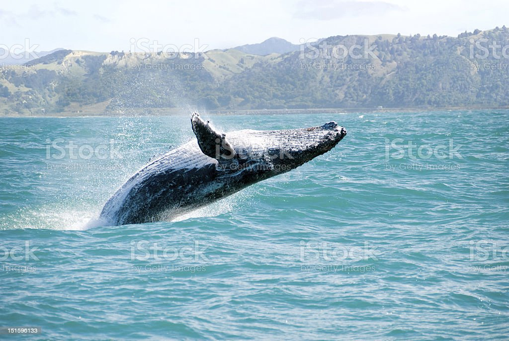 Close up of a humpback whale leaping out of the water stock photo