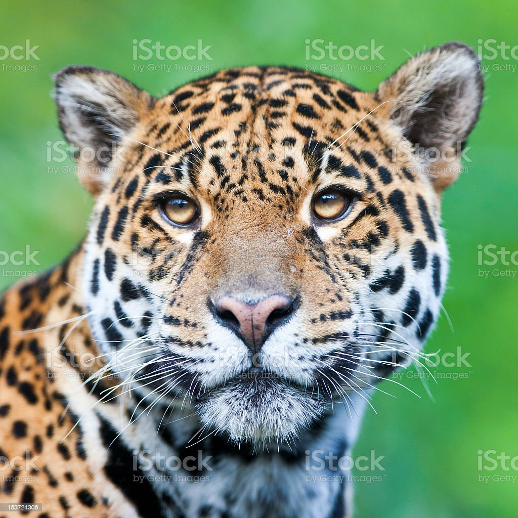 Close up of a Jaguar on green background royalty-free stock photo