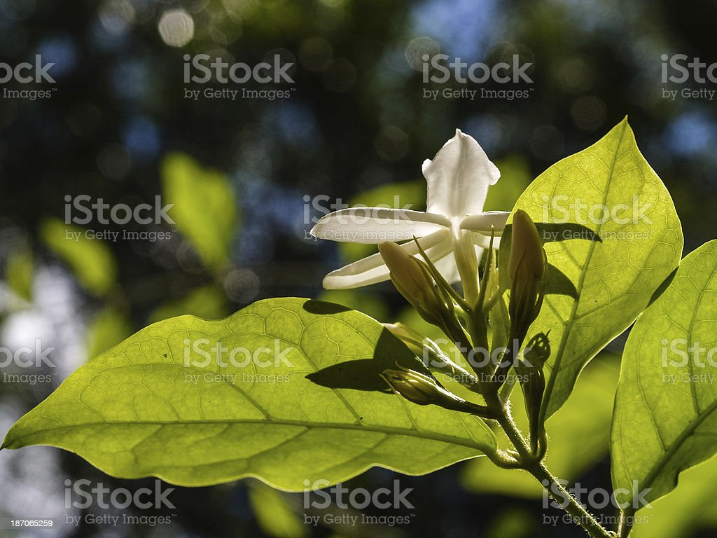 Close up of a jasmine flower, Paraguay, South America stock photo
