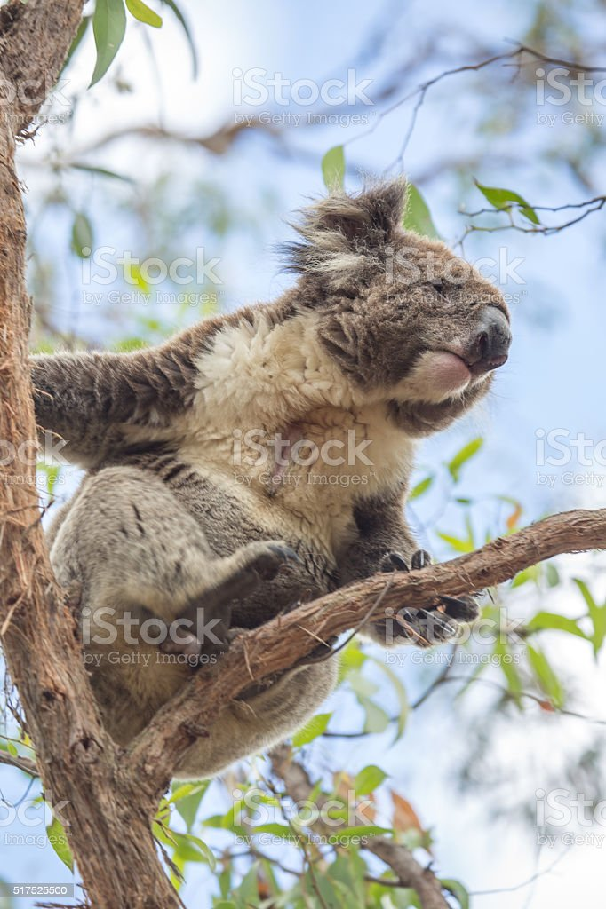 Close up of a Koala moving on an eucalyptus tree stock photo