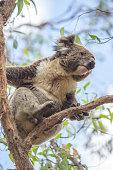 Close up of a Koala moving on an eucalyptus tree
