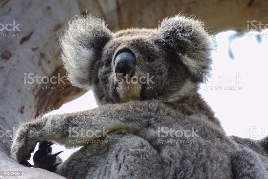 Close up of a Koala sitting on a branch of  an eucalyptus tree, facing, looking, Great Otway National Park stock photo