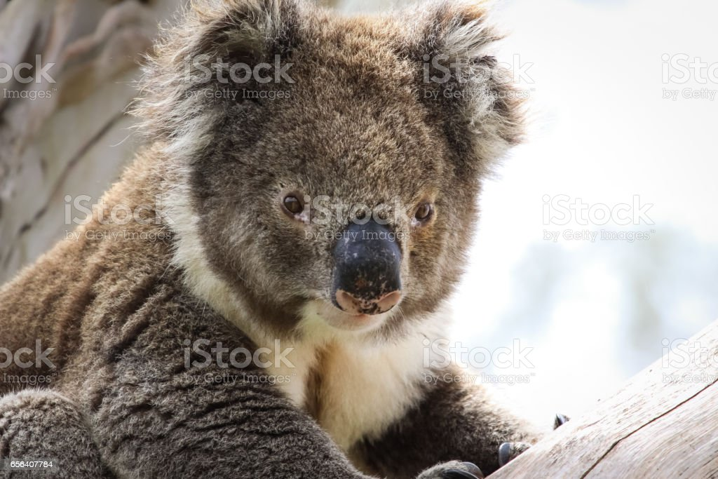 Close up of a Koala sitting on a branch of  an eucalyptus tree, facing, Great Otway National Park stock photo