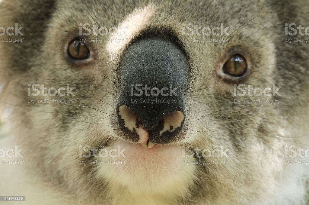 Close up of a koalas nose stock photo