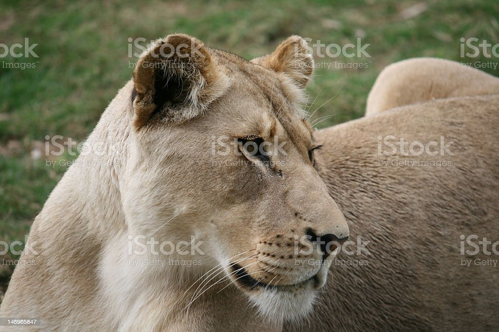 Close up of a lioness. royalty-free stock photo