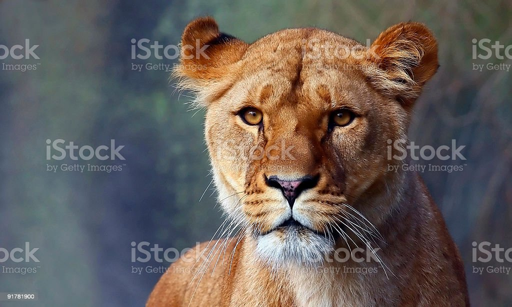 Close up of a lionesses watchful face stock photo