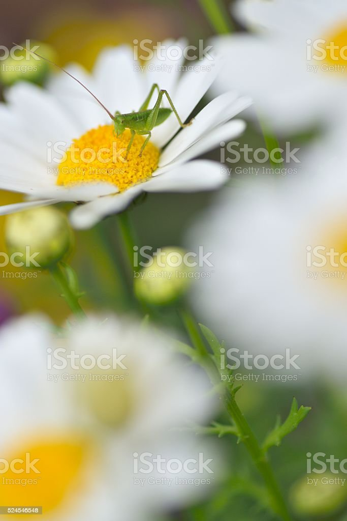 close up of a Little Grasshopperon a Mini marguerit stock photo