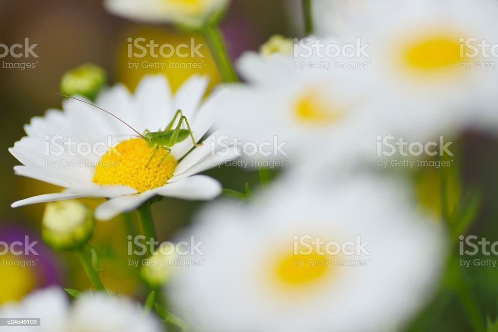 close up of a Little Grasshopperon a Mini marguerite stock photo
